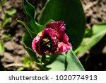 pink tulip on flowerbed in... | Shutterstock . vector #1020774913