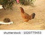 hens in a rural area | Shutterstock . vector #1020775453