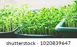 seedling. in the pots. pepper.... | Shutterstock . vector #1020839647