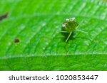 macro closeup on young green...   Shutterstock . vector #1020853447