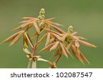 Small photo of New leaves and Flower buds of Yellow Buckeye Tree - Aesculus flava