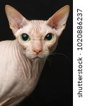 closeup cat of breed sphynx... | Shutterstock . vector #1020886237