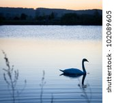 Swan swimming in a pond at sunset on a warm spring evening - stock photo