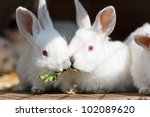 Two baby white rabbits eating a leaf together - stock photo