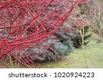 Red dogwood pland