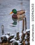duck in winter | Shutterstock . vector #1020962653