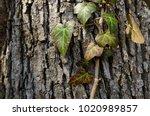 Ivy Lit By Sunlight  Wild...