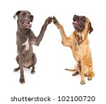 Great Dane and Brindle Mastiff with paws raised giving a High 5 greeting - stock photo