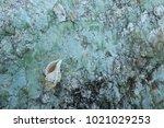 fossil shell on the sedimentary ... | Shutterstock . vector #1021029253