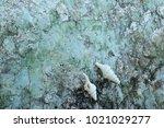 fossil shell on the sedimentary ... | Shutterstock . vector #1021029277