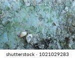 fossil shell on the sedimentary ... | Shutterstock . vector #1021029283