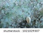 fossil shell on the sedimentary ... | Shutterstock . vector #1021029307