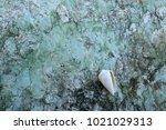 fossil shell on the sedimentary ... | Shutterstock . vector #1021029313