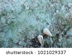 fossil shell on the sedimentary ... | Shutterstock . vector #1021029337