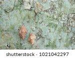 fossil shell on the sedimentary ... | Shutterstock . vector #1021042297