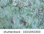 fossil shell on the sedimentary ... | Shutterstock . vector #1021042303