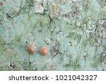 fossil shell on the sedimentary ... | Shutterstock . vector #1021042327