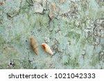 fossil shell on the sedimentary ... | Shutterstock . vector #1021042333