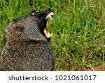profile of a baboon wide mouth... | Shutterstock . vector #1021061017
