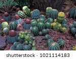cactus plants in the botanical... | Shutterstock . vector #1021114183