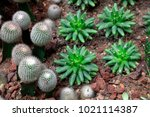 cactus plants in the botanical... | Shutterstock . vector #1021114387