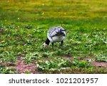 wild geese  beautiful goose.... | Shutterstock . vector #1021201957