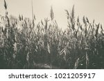 lake with a reeds in the... | Shutterstock . vector #1021205917