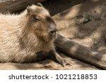 south american capybara    Shutterstock . vector #1021218853