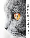 Stock photo british blue cat detail 102122287