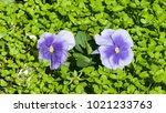 violet viola flowers at... | Shutterstock . vector #1021233763