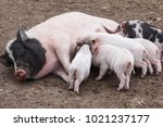 fertile sow lying and piglets... | Shutterstock . vector #1021237177