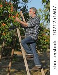 Small photo of Farmer or agronomist examining and picking apricot fruit from tree in orchard