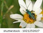 false oil beetle  thick legged ... | Shutterstock . vector #1021252027