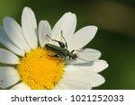 false oil beetle  thick legged ... | Shutterstock . vector #1021252033