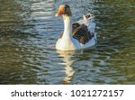 brown and white feather duck... | Shutterstock . vector #1021272157
