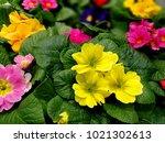 multicolor primrose  primula... | Shutterstock . vector #1021302613