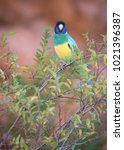 a port lincoln parrot ...   Shutterstock . vector #1021396387