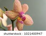 Close Up Of A Mini Phalaenopsi...