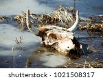 Small photo of Skull with horns. Horned cattle