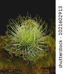 Small photo of Tillandsia Andreana is a beautiful lime-green air plant.