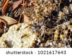 vespula vulgaris. destroyed... | Shutterstock . vector #1021617643