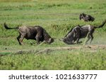 Small photo of The wildebeests, also called gnus, are a genus of antelopes, scientific name Connochaetes. They belong to the family Bovidae