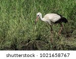 the white stork is a large bird ...   Shutterstock . vector #1021658767