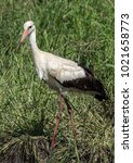 the white stork is a large bird ...   Shutterstock . vector #1021658773
