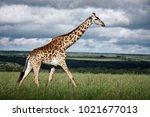 masai giraffe  giraffa...   Shutterstock . vector #1021677013