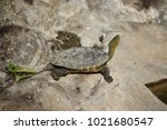 Chinese Stripe Necked Turtle ...