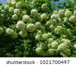 Viburnum Snowball In The Garden