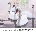 four adult mute swans  cygnus... | Shutterstock . vector #1021753393