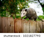 Common Opossum Walking On New...