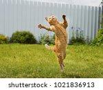ginger cat in jumping on green... | Shutterstock . vector #1021836913